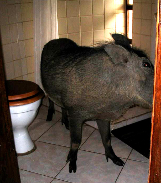 Photo of a wart hog in the bathroom.