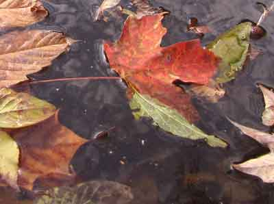 Photo of Autumn leaves in the water.